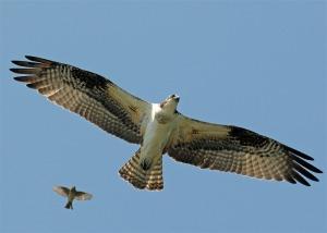 osprey grahamowengallery com